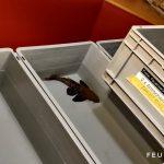 Feuerwehr Fernwald rettet Fische im Wert von 25.000 €